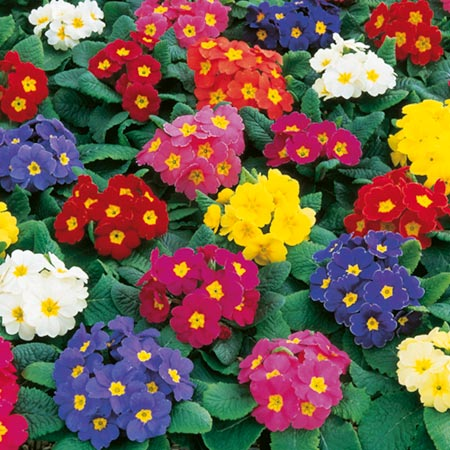 Polyanthus 'Crescendo' - photo sourced from dobies.co.uk