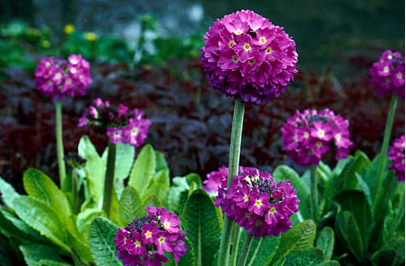 Primula denticulata - photo sourced from rhs.co.uk