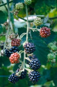 Blackberry 'Fantasia'