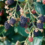 Blackberry 'Loch Ness'