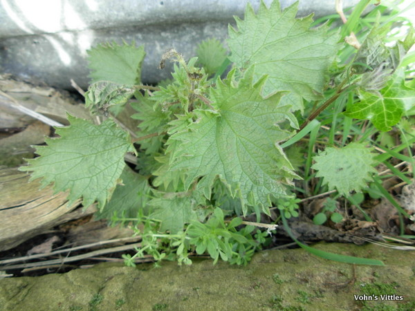 Nettle, Urtica dioica